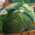 漬け物野菜の販売開始は10月20日からです